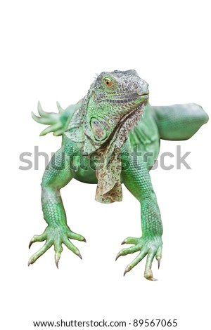 Green Iguana isolated on white background with clipping path