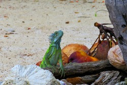 Green iguana lizard  and rocks, log and coconut on the beach. Tropical lizard on the wood. Sandy coast, wild lizard. Animal behavior photography.