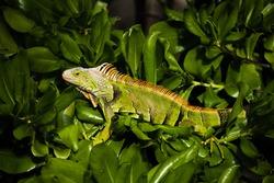 Green iguana lizard in miami florida