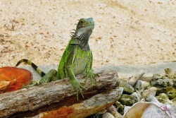 Green iguana lizard on the beach, wood, stones and coconut. Lizard on the log. Sand and wild tropical animal, travel photography.