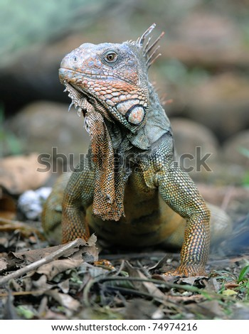 green iguana, male adult close up full frame, guanacaste, costa rica, central america. exotic reptile lizard like dinosaur in tropical setting