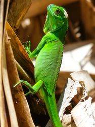 Green Iguana, National Park, Turtuguero, Costa Rica