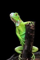 Green Iguana on branch with black background, animal closeup
