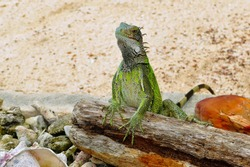 Green iguana on the white sandy beach, with stones, wood and coconut. Tropical animal on the sand. Iguana portrait. Lizard in the nature.