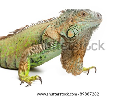 Green iguana on white background isolated, a lot of copyspace available