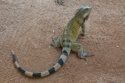 Green iguana or American iguana (Iguana iguana) Bonaire, Leeward Islands