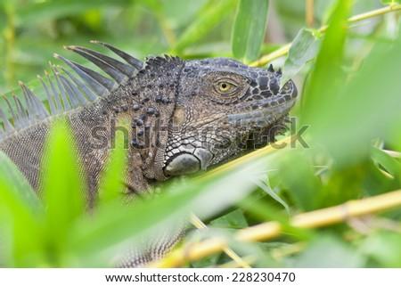 Green Iguana Portrait - Arenal Volcano National Park, Alajuela province, Costa Rica