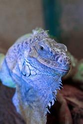 green iguana portrait (Iguana Iguana), a large reptile