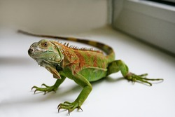 Green Iguana reptiles. Perfect portrait of a green iguana reptiles, close up. Close up portrait of exotic home pet green iguana. Reptile sit on window. Selective focus.