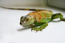 Green Iguana reptiles. Perfect portrait of a green iguana reptiles, close up. Close up portrait of exotic home pet green iguana. Selective focus.