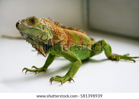 Shutterstock Green Iguana reptiles. Perfect portrait of a green iguana reptiles, close up. Close up portrait of exotic home pet green iguana. Reptile sit on window. Selective focus.