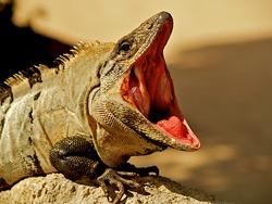 Green Iguana with mouth wide open in Mexico.