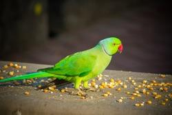 Green Indian Ringneck Parakeet, Colorful Parrot eating corn slice, Phuket Bird Park,