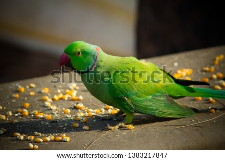Green Ringneck Parrot Images and Stock Photos - Avopix com