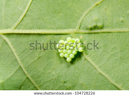 green insect clutch of eggs, leaf
