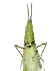 green insect grasshopper isolated on white