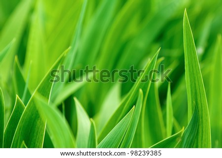 Green iris leaves