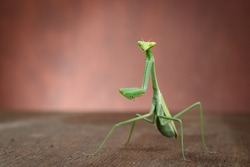 Green Isolated Praying Mantis Backgroung