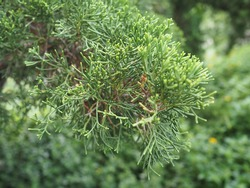Green Italian Cypress or Pencil Pine (Cupressus sempervirens). Scientific name: Cupressus sempervirens L. 'Stricta'. Scaly-like leaves with dark green rounded oval tip on a blurred background.