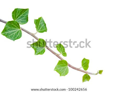 Green ivy branch isolated on white with clipping path