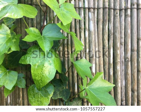 Green Ivy climbing on a bamboo wall #1057557227