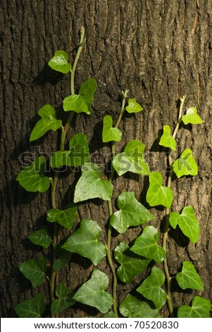 green ivy climbing up tree trunk