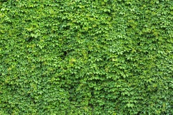 Green ivy covered wall as background image