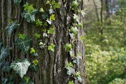 Green ivy growing on tree bark in park