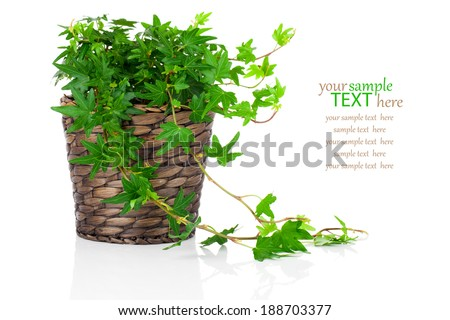 Green Ivy (Hedera helix) in pot, isolated on white background