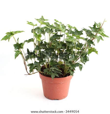 Green ivy in a pot isolated over white