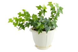 Green ivy in flowerpot isolated on white background