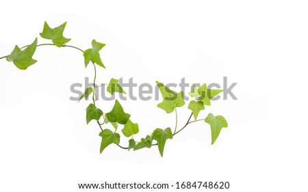 green ivy isolated on a white background. Foto stock ©