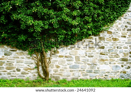 Green ivy leaf covered wall. - stock photo
