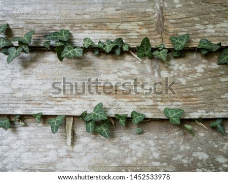 Green ivy leaves crawling in grooves of a a wooden fence. A nice wood texture from the fence in the background.  Zdjęcia stock ©