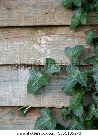 Green ivy leaves crawling on a top of a wooden fence. A nice wood texture from the fence in the background.  Zdjęcia stock ©