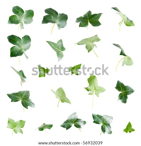 Green ivy leaves isolated on white background.