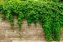 green ivy leaves on a red brick textured wall with a copy space
