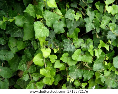 Green ivy on the wall, climbing. Leaves texture. Foto stock ©