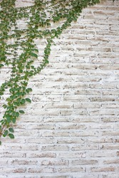 Green ivy plant climb on old white brick wall background.