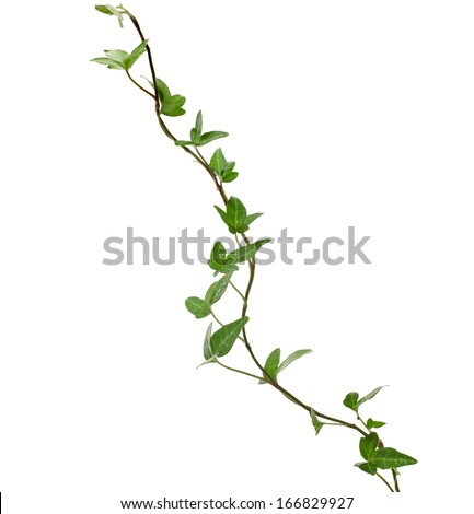Green ivy plant close up isolated on white background  #166829927