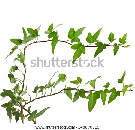 Green ivy plant ( Hedera helix ) close up isolated on white background