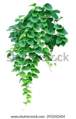 Green ivy plant, nature vine leaves