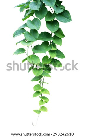Green ivy plant, nature vine leaves