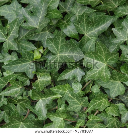 Green ivy plants useful as a background