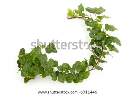 Green ivy twig on a white background - stock photo