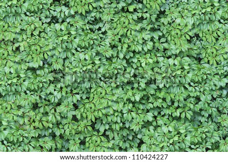 Green Ivy Wall Texture with lush foliage growing and attached on a vertical building structure as a design element representing nature and the environment,. - stock photo