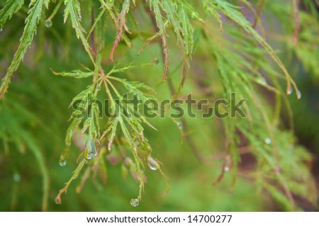 Green Japanese Maple after the Rain I