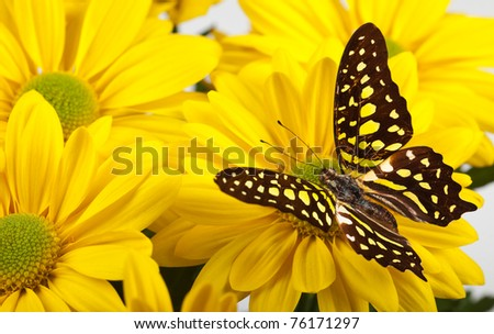Green Jay Butterfly (aka Green Triangle or Green Spotted Triangle) on Yellow Chrysanthemum - stock photo