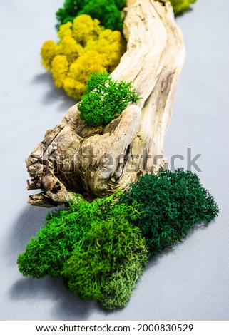 Green juicy moss on a tree. Bright green juicy moss on the tree. decorations for the interior. stabilized moss for interior decoration. decorations made of stabilized moss for the interior.