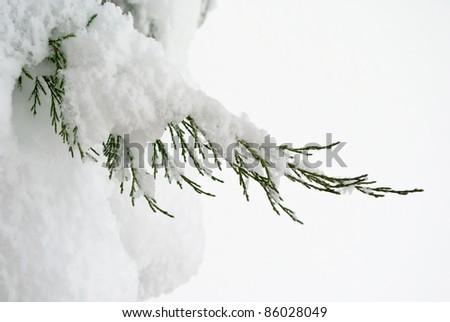 green juniper sprout under snow, white background